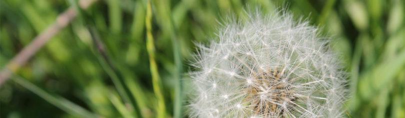 Pusteblume auf grüner Wiese